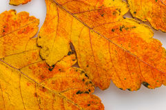 Autumn leaves macro Stock Images