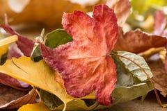 Autumn Leaves Macro variopinto fotografia stock libera da diritti