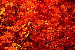 Autumn leaves make a wash of red. Sunlit leaves of a Japanese Maple in Autumn Stock Image