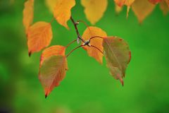 Autumn leaves of Manchurian pear Royalty Free Stock Image