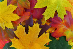 Autumn leaves. Many colorful autumn leaves as background Stock Image