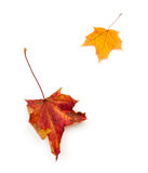 Autumn leaves of maple Stock Photography