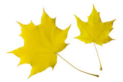 Autumn leaves of the maple Royalty Free Stock Photography