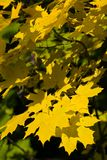 Autumn leaves of maple. Close-up Royalty Free Stock Photos