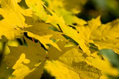 Autumn leaves of maple. Close-up stock photo