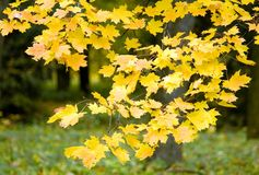 Autumn leaves in Maple. October, Russia Royalty Free Stock Photography