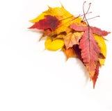 Autumn Leaves Maple, abedul, álamo, castaña, cereza salvaje, rowa Fotos de archivo libres de regalías