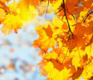 Autumn leaves maple against the blue sky. And sun Royalty Free Stock Photo