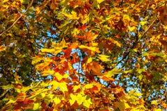 Autumn leaves maple against the blue sky. Autumn leaves maple against the blue sky Stock Images