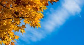 Autumn Leaves Of Maple avec le ciel bleu Images libres de droits