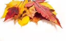 Autumn Leaves Maple birc, poplar, chestnut, wild cherry, rowa Stock Photography