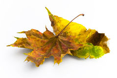 Autumn leaves maple and chestnut Royalty Free Stock Image