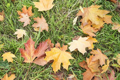 Autumn leaves. Autumn maple leaves close up Royalty Free Stock Photos