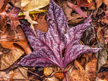Autumn leaves maple Royalty Free Stock Images