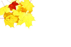 Autumn leaves maple herbarium isolated october Stock Photography