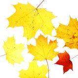 Autumn leaves maple herbarium isolated october. Yello Stock Images