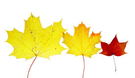 Autumn leaves maple herbarium isolated october Royalty Free Stock Photos