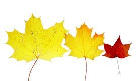 Autumn leaves maple herbarium isolated october. Yello Royalty Free Stock Photos