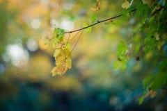 Autumn Leaves, Maple leaf. Autumn background with golden maple leaf, shallow dof Stock Photos