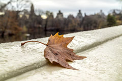 Autumn leaves maple leaf Royalty Free Stock Photos