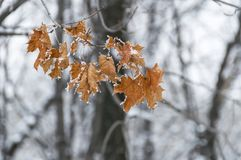 Autumn leaves of maple, left on a tree branch in winter. On a blurry background of trees Stock Images