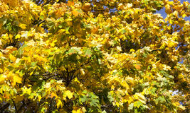 Autumn leaves of maple Royalty Free Stock Images