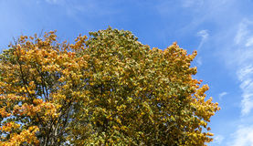 Autumn leaves of maple Royalty Free Stock Photos