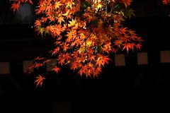 Autumn leaves of Maple. Scenery in November of Japan / autumn leaves of Maple Royalty Free Stock Photography