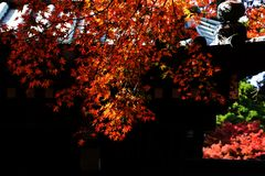 Autumn leaves of Maple. Scenery in November of Japan / autumn leaves of Maple Royalty Free Stock Images