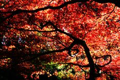Autumn leaves of Maple. Scenery in November of Japan / autumn leaves of Maple royalty free stock photo