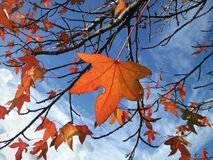 Autumn leaves. Maple leaves shivering in autumn breeze Royalty Free Stock Image
