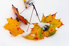 Autumn leaves of a maple in the snow Royalty Free Stock Photography