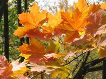 Autumn leaves of maple tree Royalty Free Stock Image