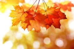 Autumn leaves of maple tree. Stock Photos