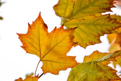 Autumn leaves of a maple tree Stock Images