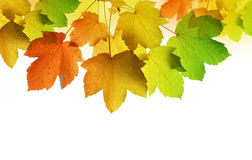 Autumn leaves of maple tree Stock Images