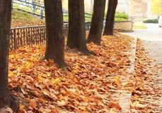 Autumn. Leaves,  maple trunks  landscape Stock Photos