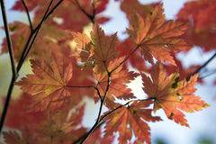 Autumn leaves. Maple leaves, yellow and red colors. Seasons the background of leaves, red leaves on the tree in the forest Royalty Free Stock Images