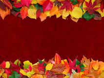 Autumn leaves with maroon background Royalty Free Stock Images