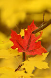 Autumn Leaves mit einem roten Blatt Lizenzfreie Stockfotografie