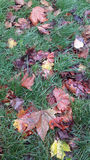 Autumn Leaves on Wet Grass stock image