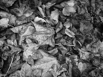 Autumn Leaves monochrome Images stock
