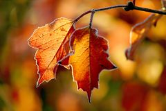 Autumn leaves with morning frost stock image