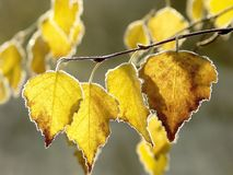 Autumn leaves with morning frost. Fall willow foliage with morning frost in the forest with morning light Stock Image