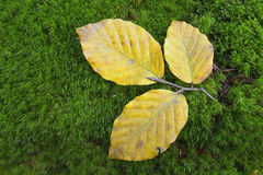 Autumn leaves on moss Royalty Free Stock Images