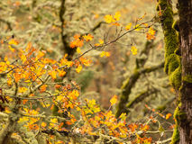 Autumn leaves and moss on oak trees Stock Photos