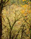 Autumn leaves and moss on oak trees Royalty Free Stock Images