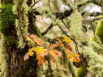 Autumn leaves and moss on oak trees Royalty Free Stock Photos