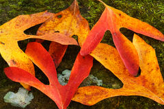 Autumn Leaves on Mossy Rock Royalty Free Stock Images