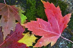 Autumn Leaves on Mossy Rock Stock Image